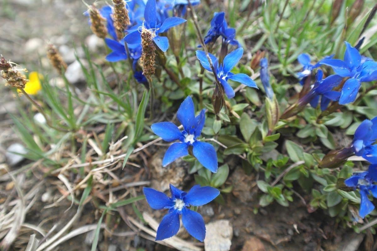 Blaue Frühblüher - Frühlings-Enzian