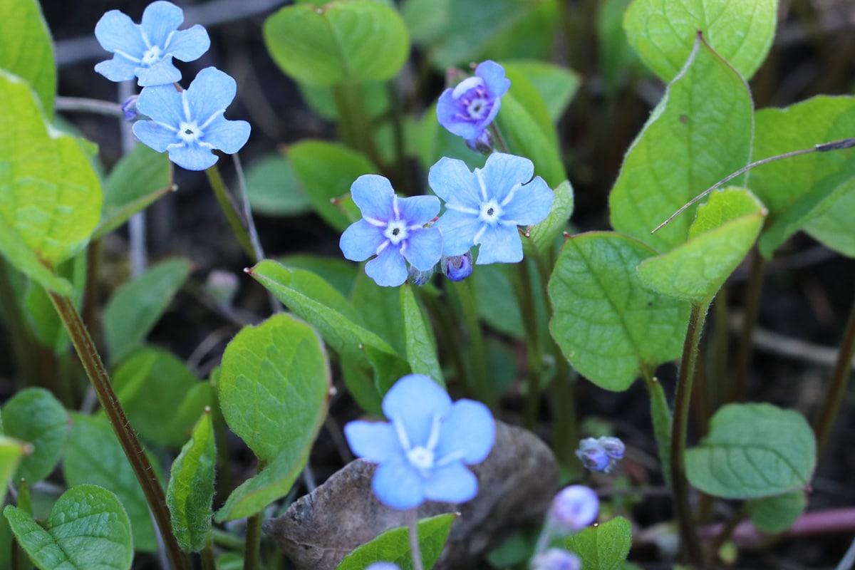 Frühlings-Gedenkemein - Omphalodes verna