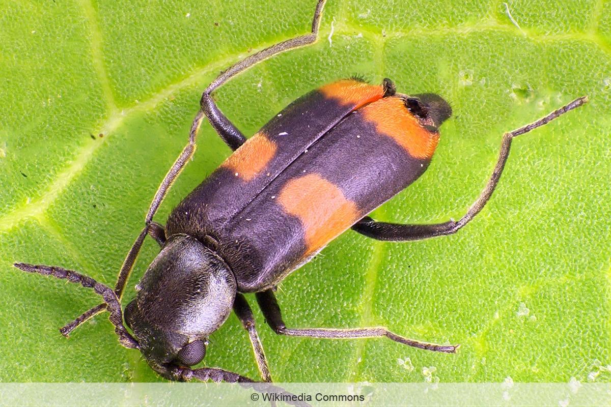 Gebänderter Warzenkäfer - Anthocomus fasciatus