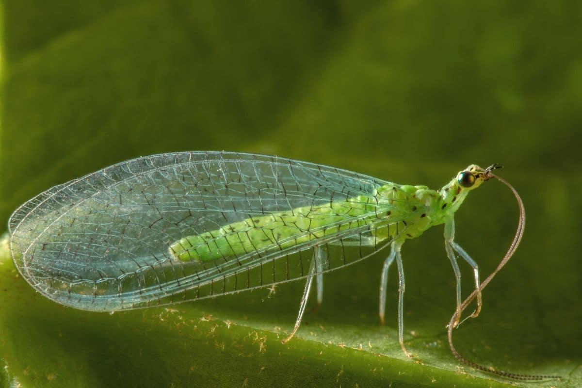 Grüne Mücken -  Gemeine Florfliege