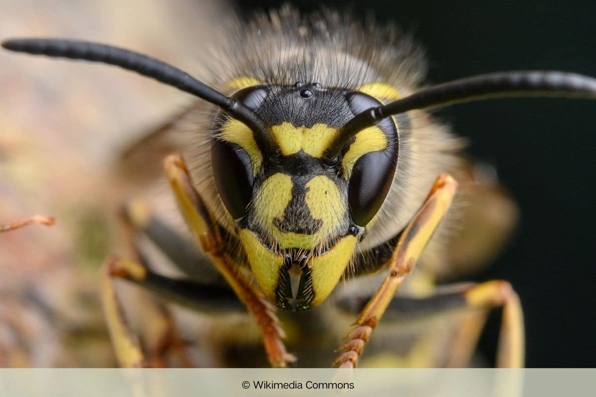 Gemeine Wespe - Wespenkönigin
