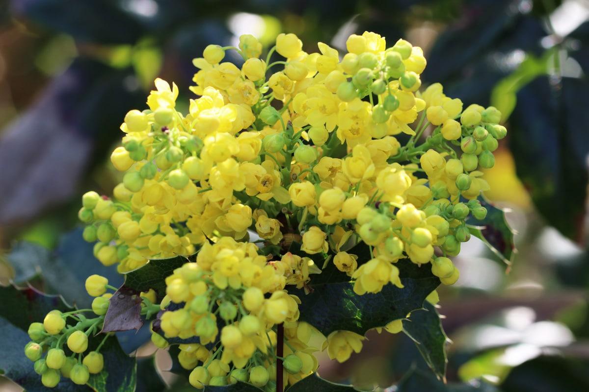 Gelbe Frühblüher - Gewöhnliche Mahonie