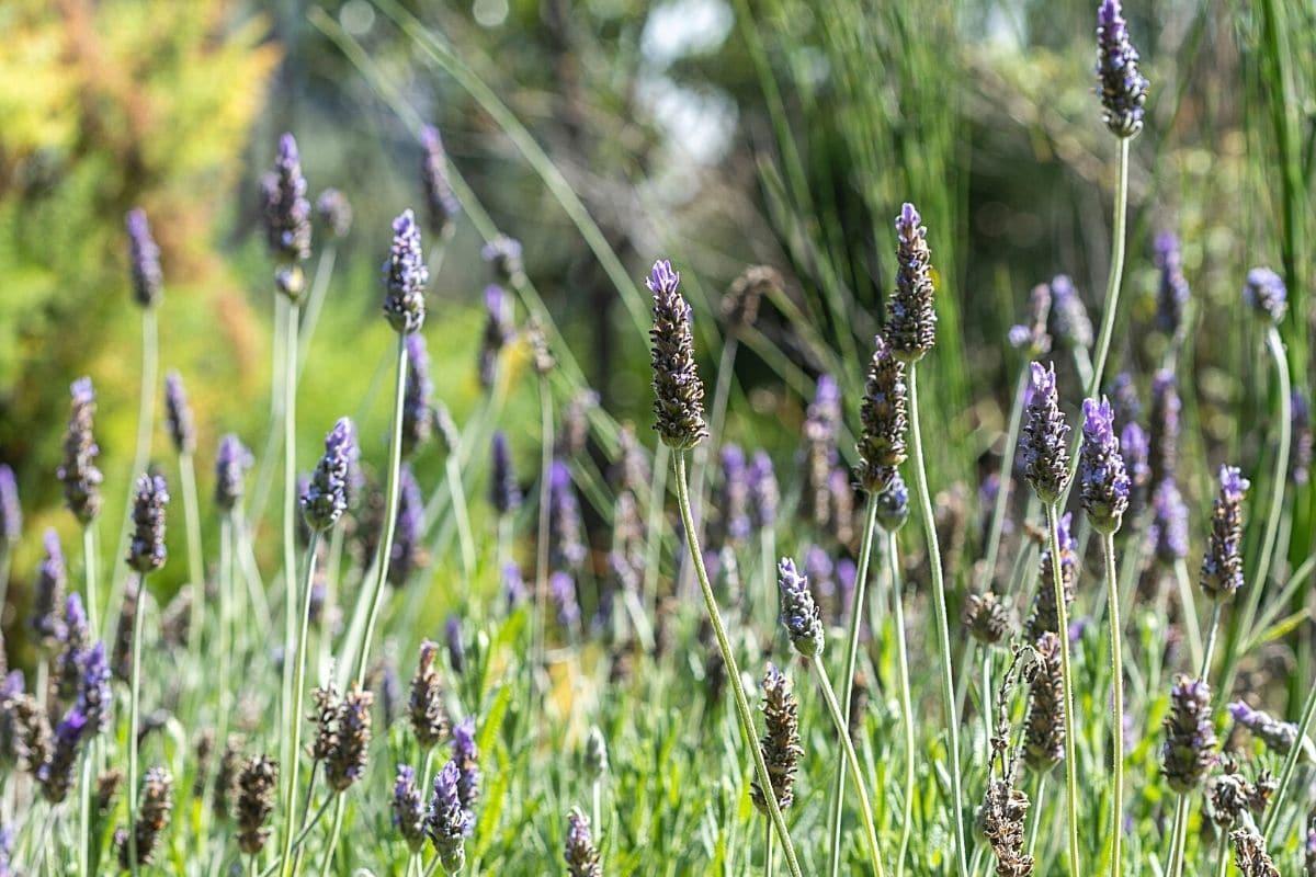 Gewürzlavendel - Lavandula latifolia