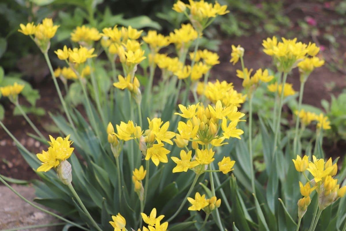 Gold-Lauch - Allium moly