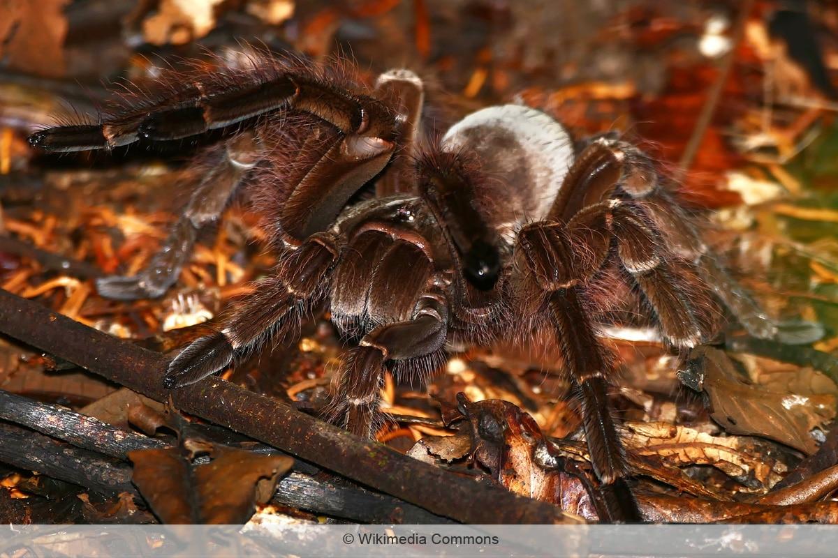 Spinnenarten -  Goliath-Vogelspinne