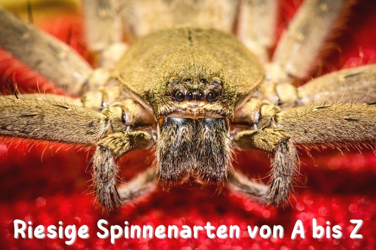 Größte Spinnenarten