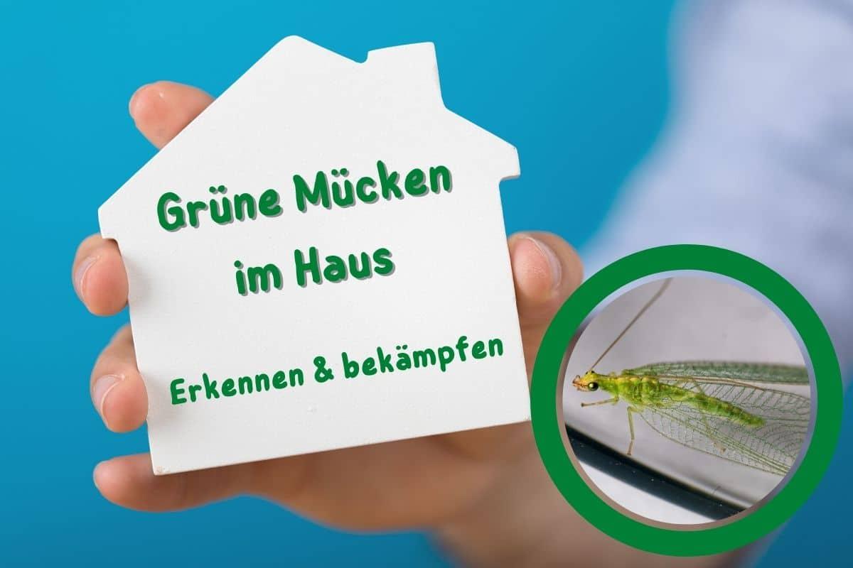 Grüne Mücken in der Wohnung - Florfliege