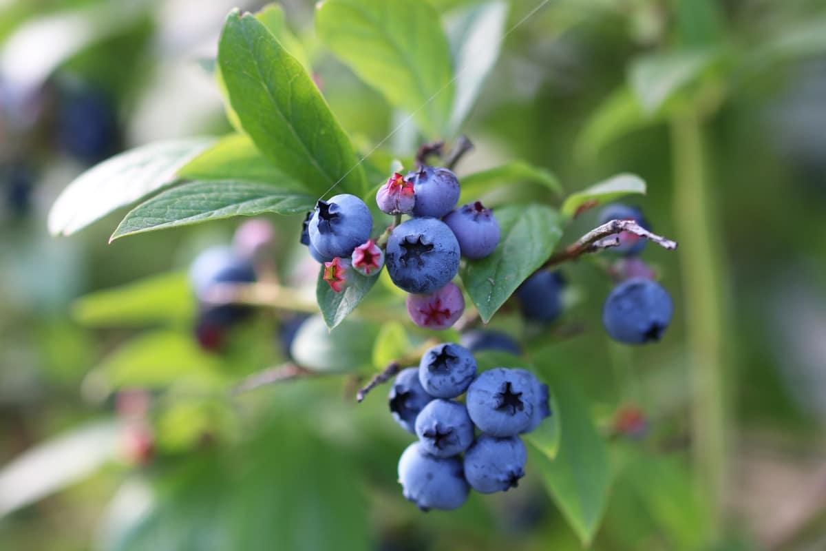 Blaue Beeren - Heidelbeeren