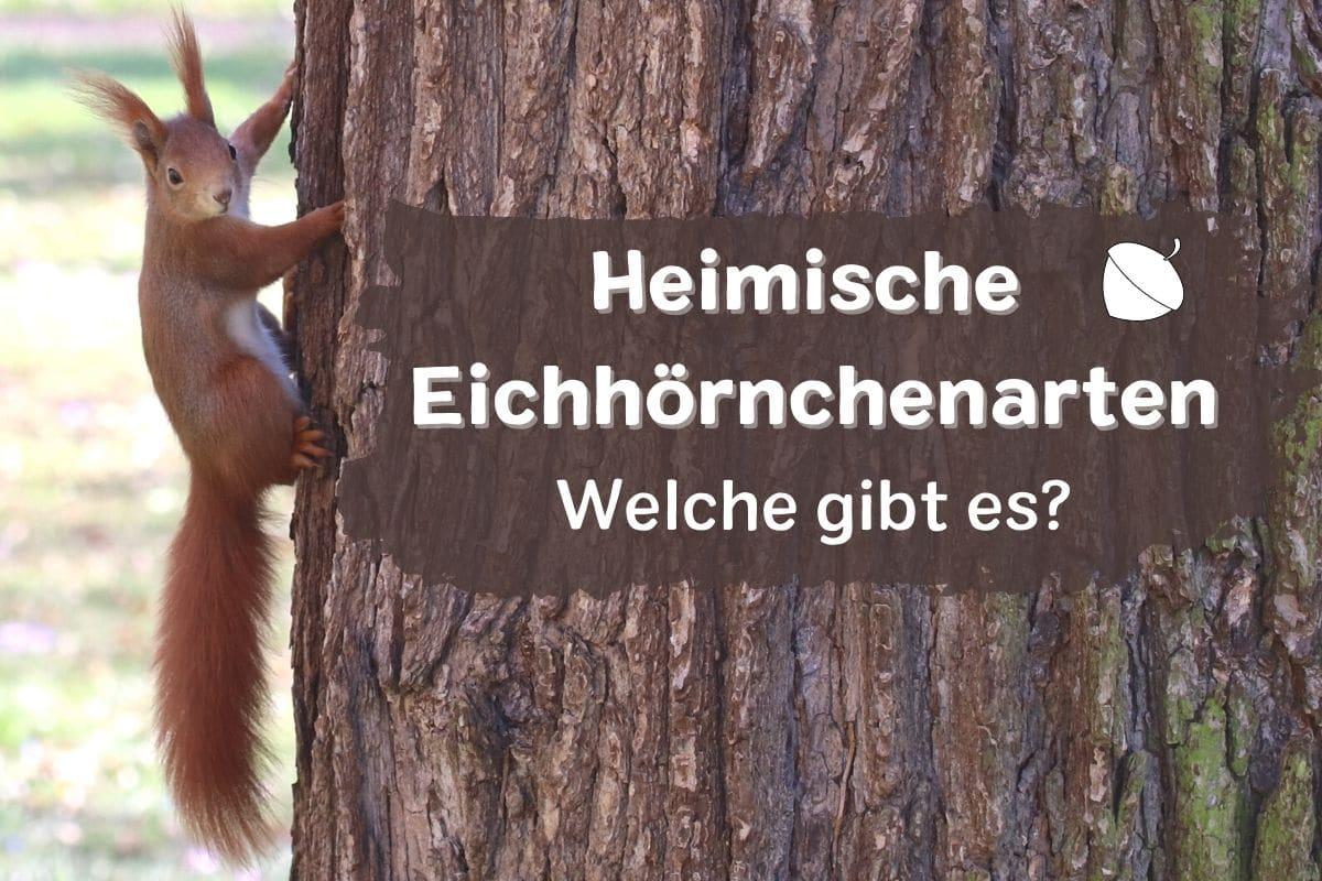 Heimische Eichhörnchenarten - Sciurus vulgaris