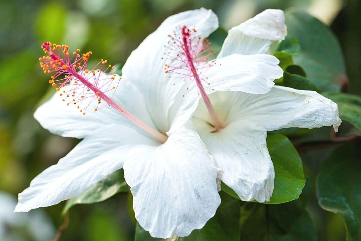 Hibiskus - Hibiscus arnottianus