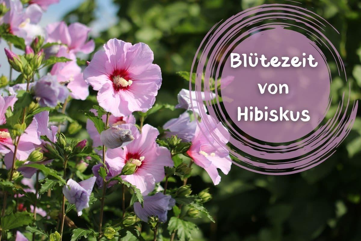Blütezeit von Hibiskus