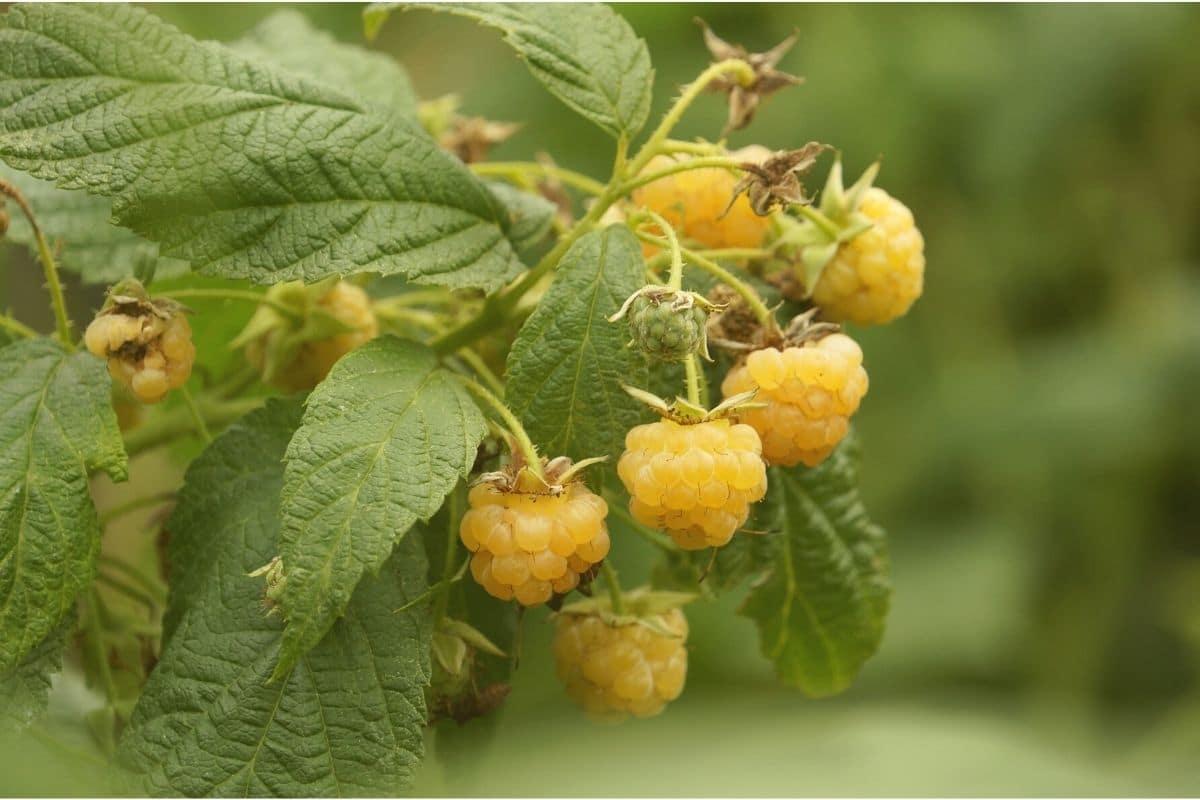 Orange Beeren - Himbeeren
