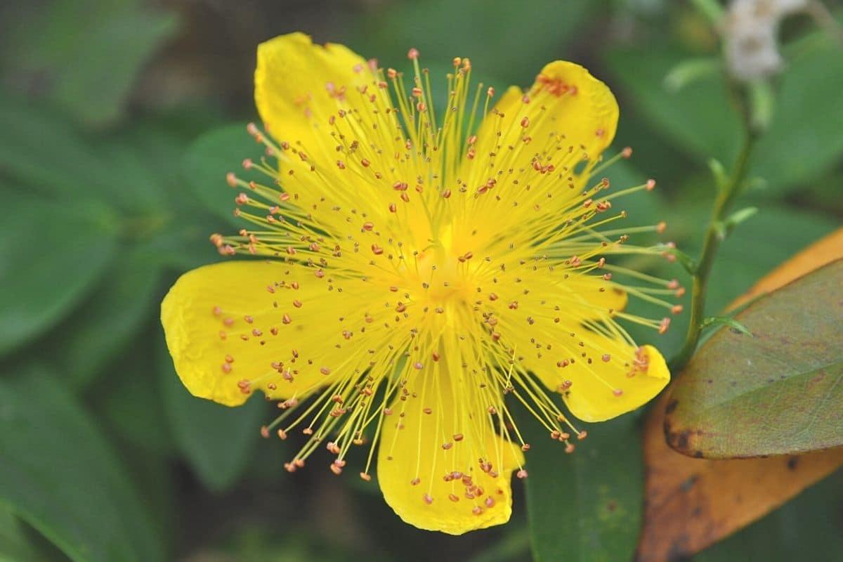 Blühende Sträucher für Schatten - Immergrünes Johanniskraut