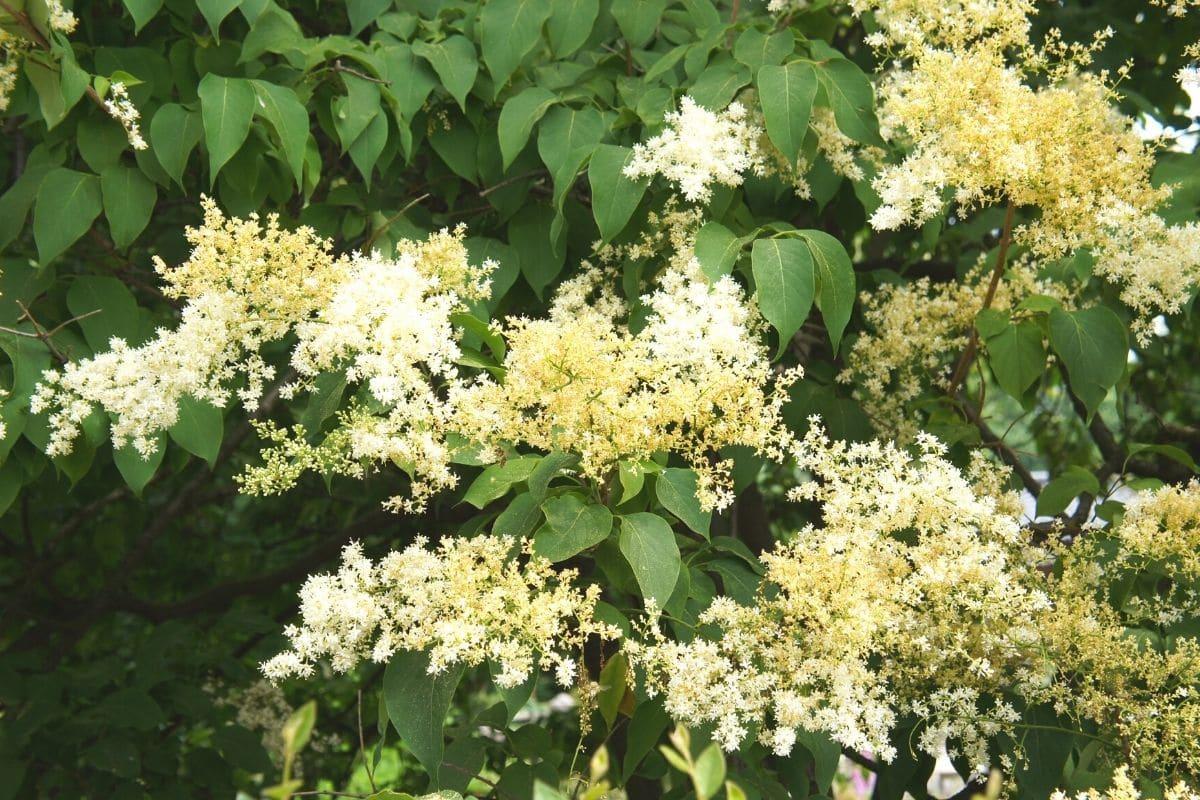 Japanischer Baumflieder - Syringa reticulata