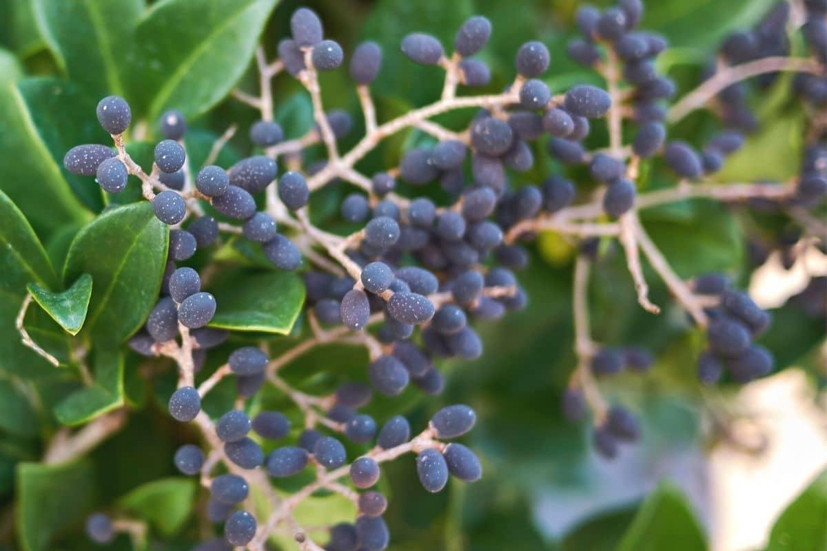 Japanischer Liguster - Ligustrum japonicum
