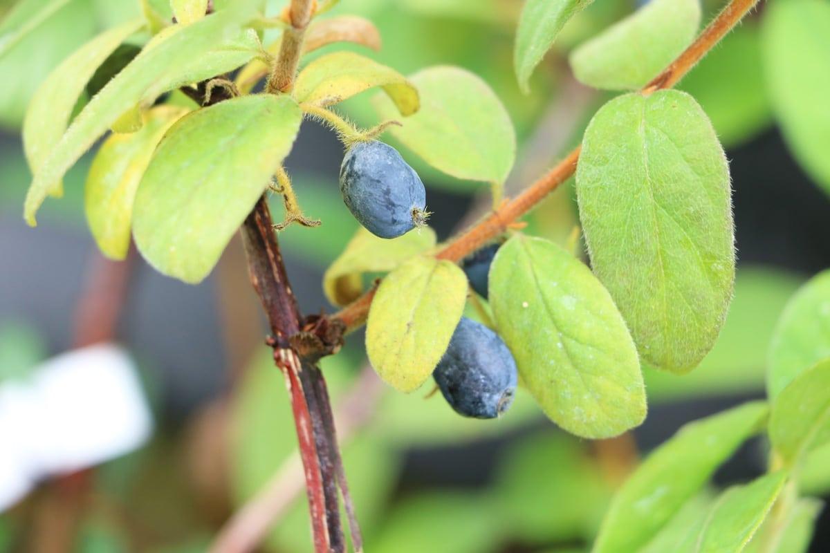 Blaue Beeren - Kamtschatka-Heckenkirsche