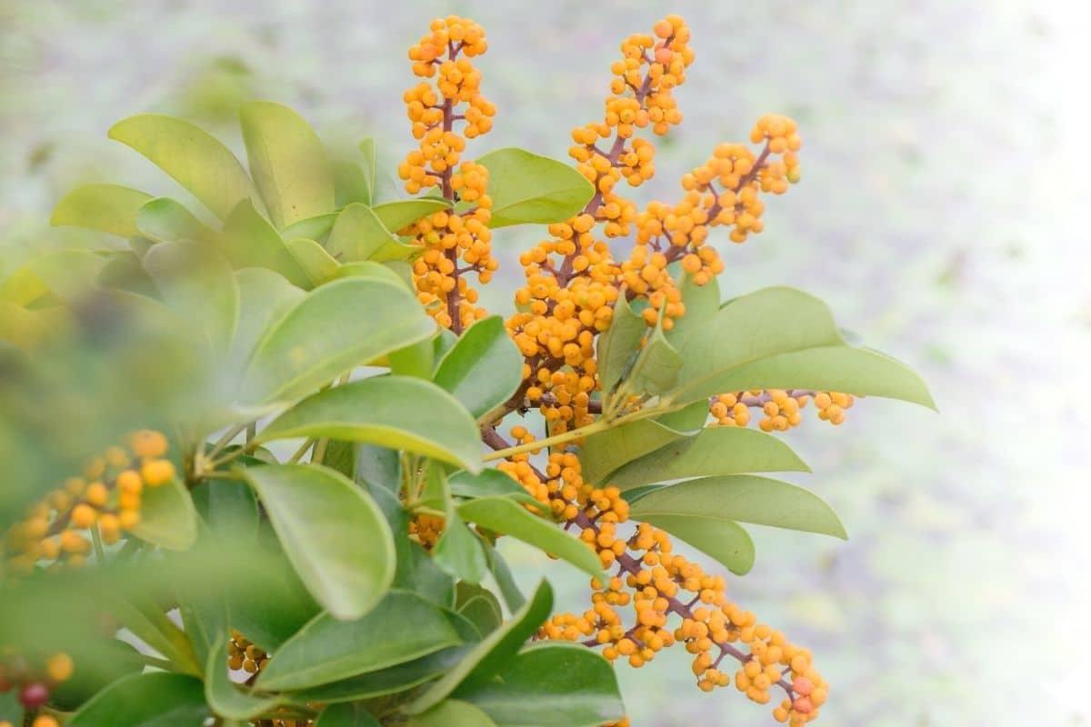Kleine Strahlenaralie - Schefflera arboricola