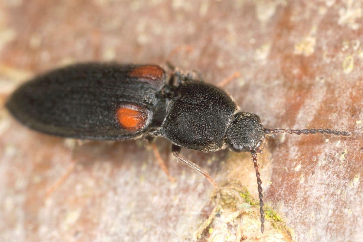 Kleiner Scheukäfer - Panagaeus bipustulatus