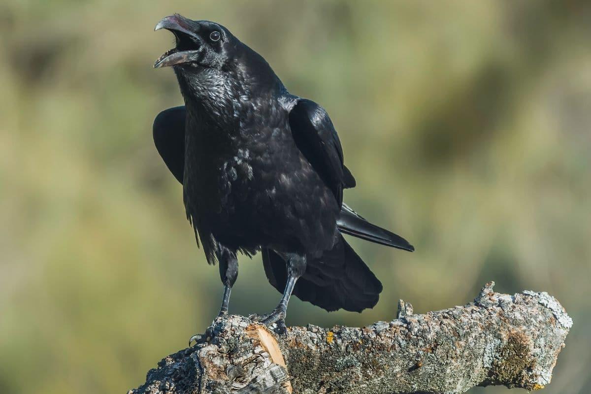 Kolkrabe - Corvus corax