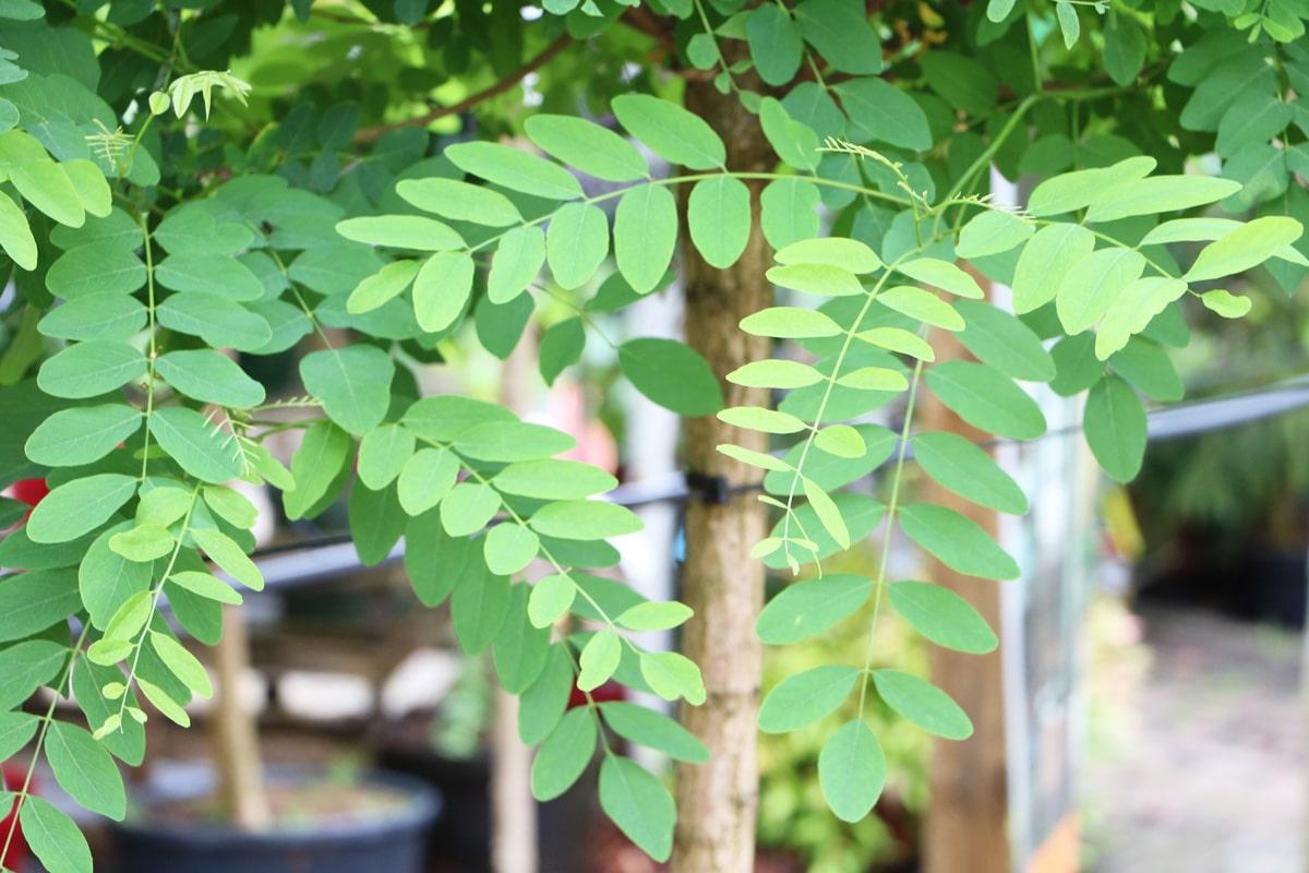 Kugelrobinie - Robinia pseudoacacia 'Umbraculifera'