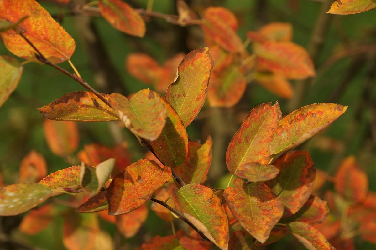 Kleine Bäume - Amelanchier lamarckii