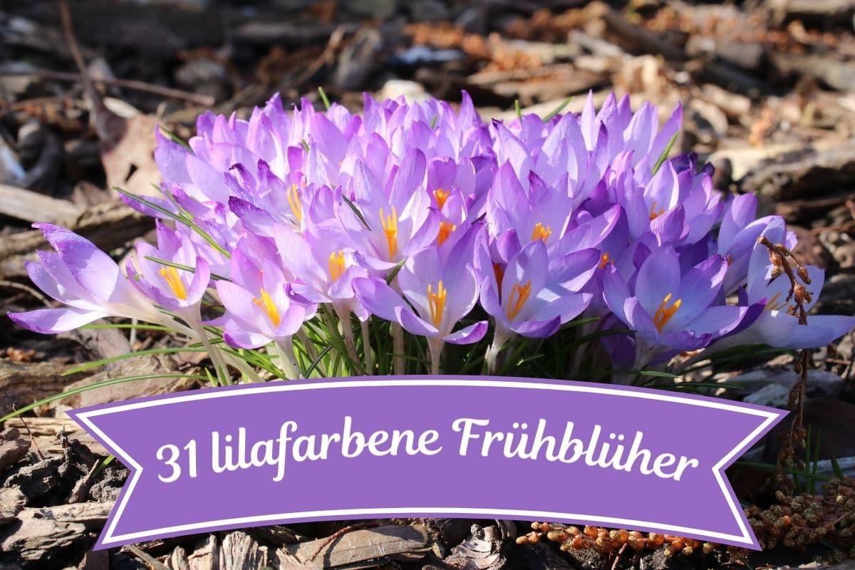 Lila Frühblüher - Krokusse