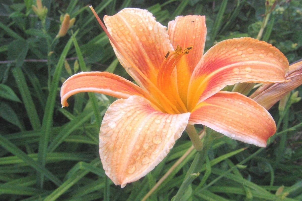 Lilie im Beet überwintern