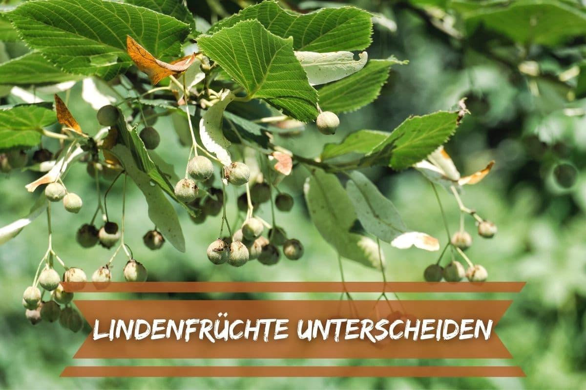 Früchte der Linde unterscheiden