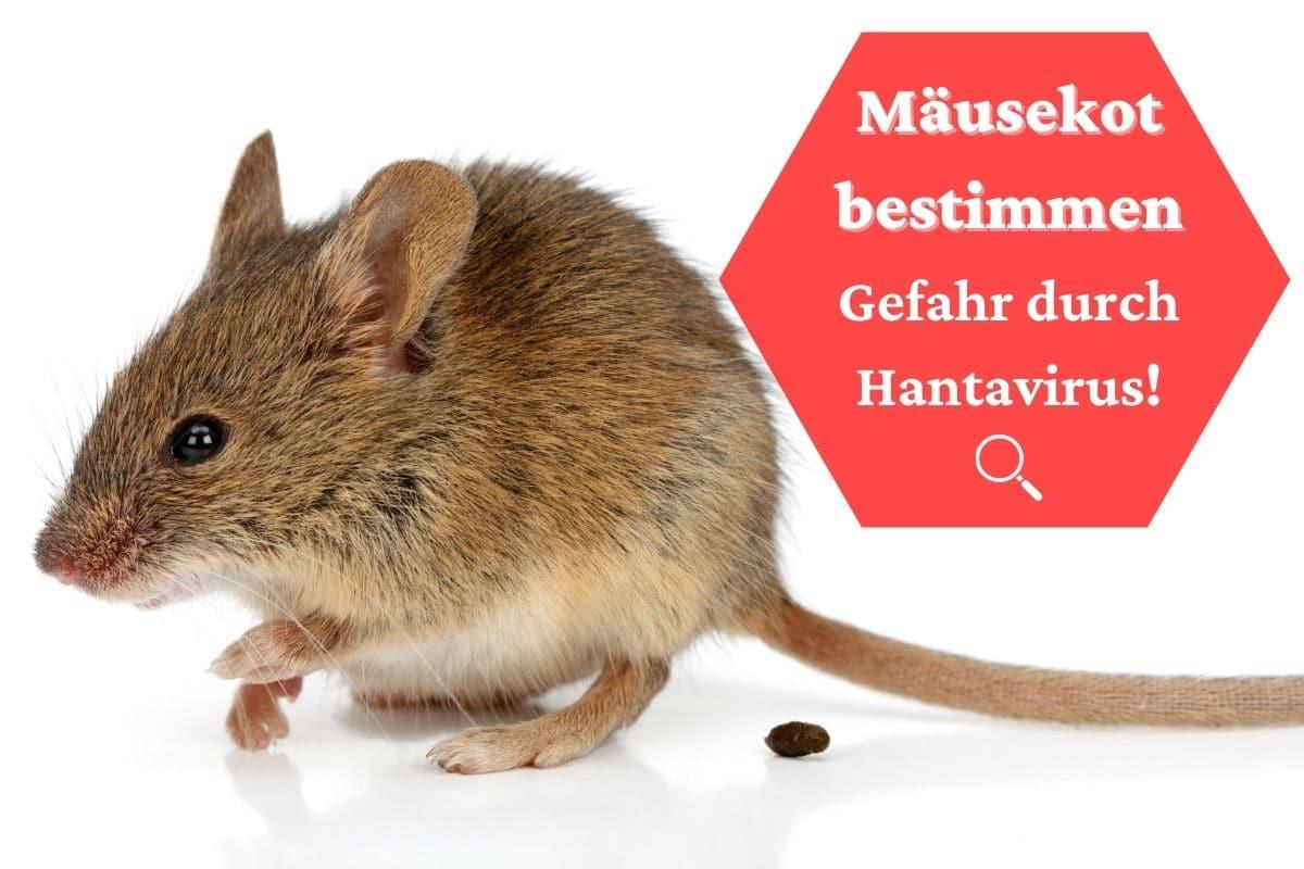 Mäusekot bestimmen - Kackende Maus