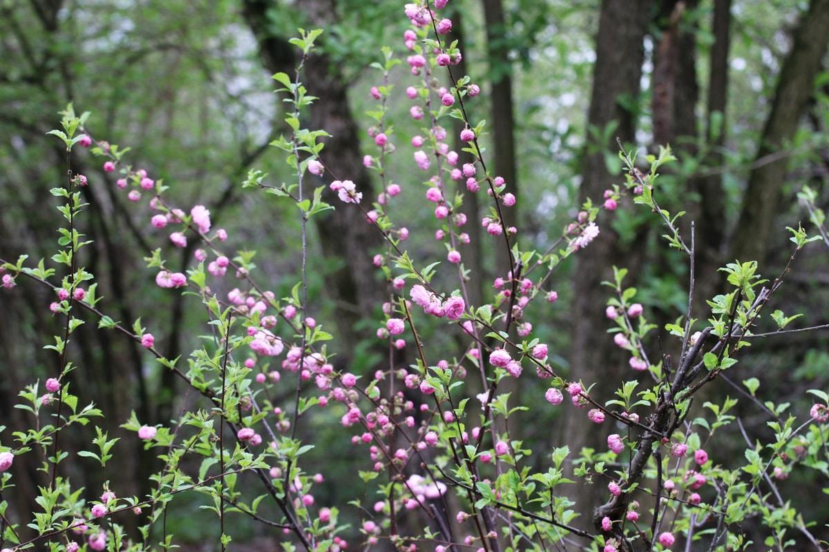 Mandelbäumchen - Prunus triloba