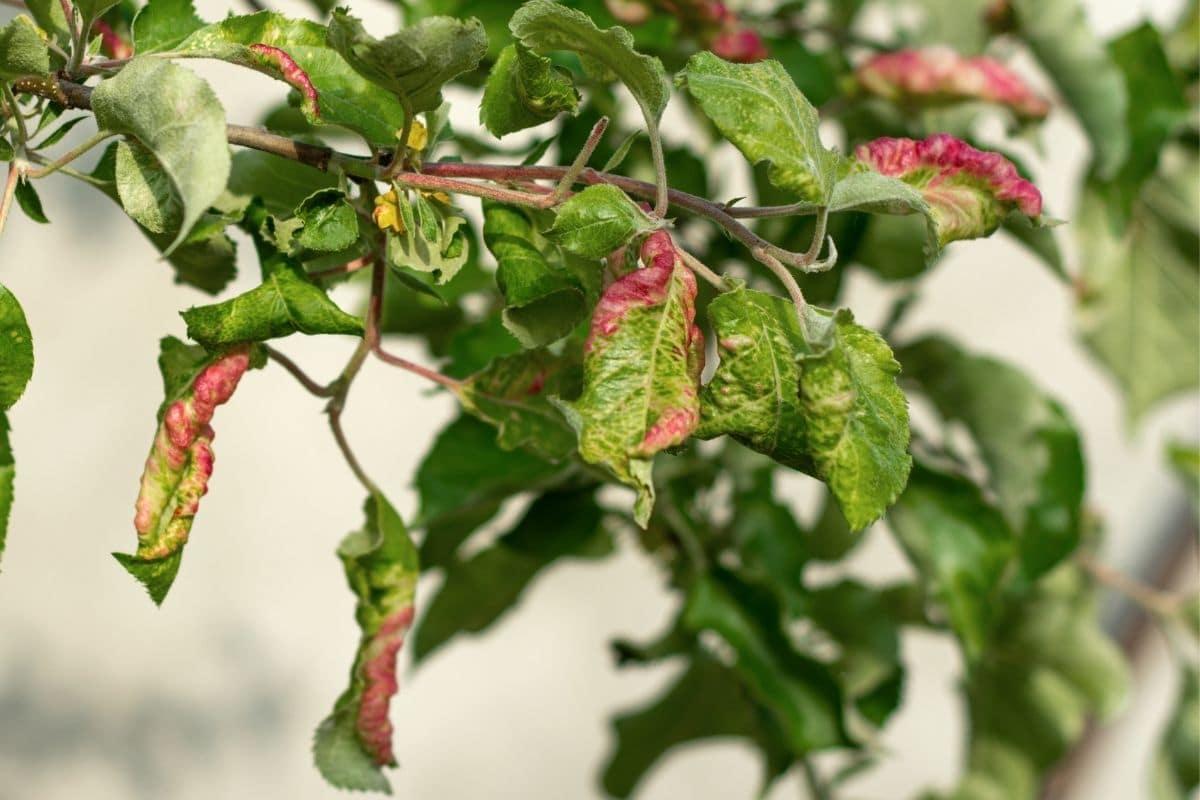 Apfelbaum-Schädlinge - Mehlige Apfelblattlaus