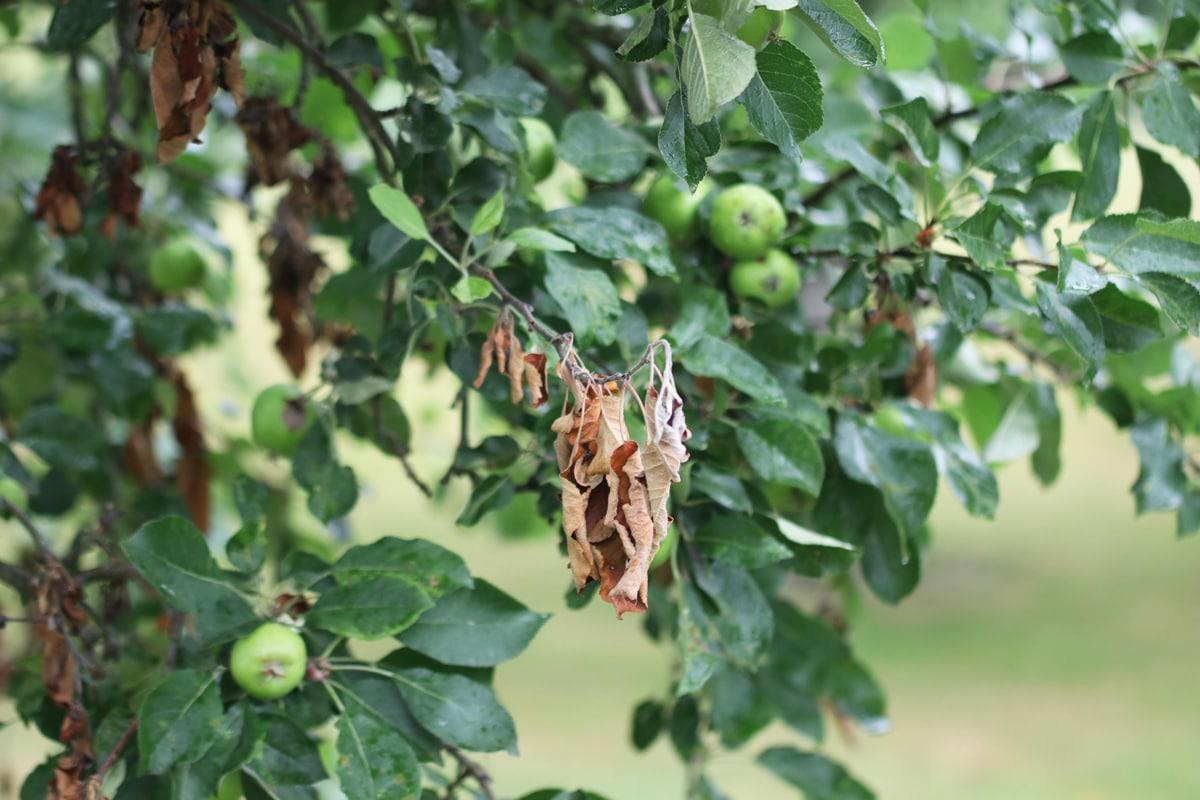 Pilzbefall - Monilia laxa