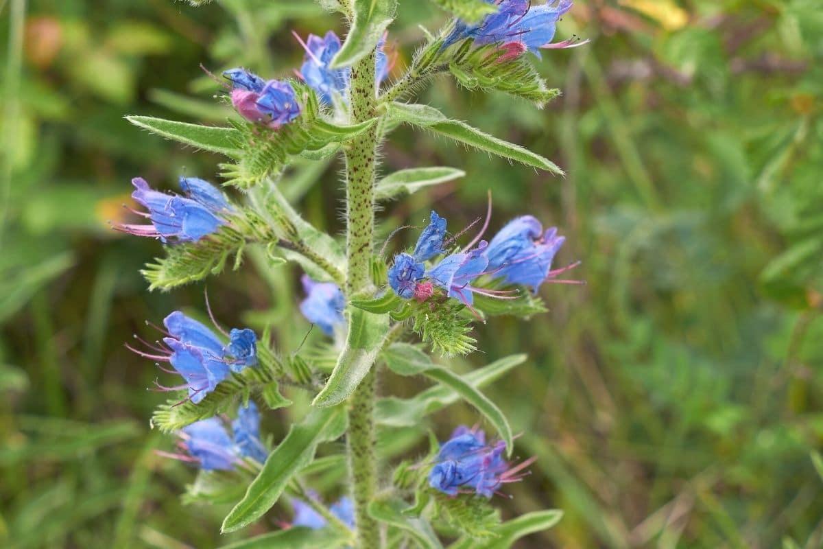 Blaue Frühblüher - Gewöhnlicher Natternkopf