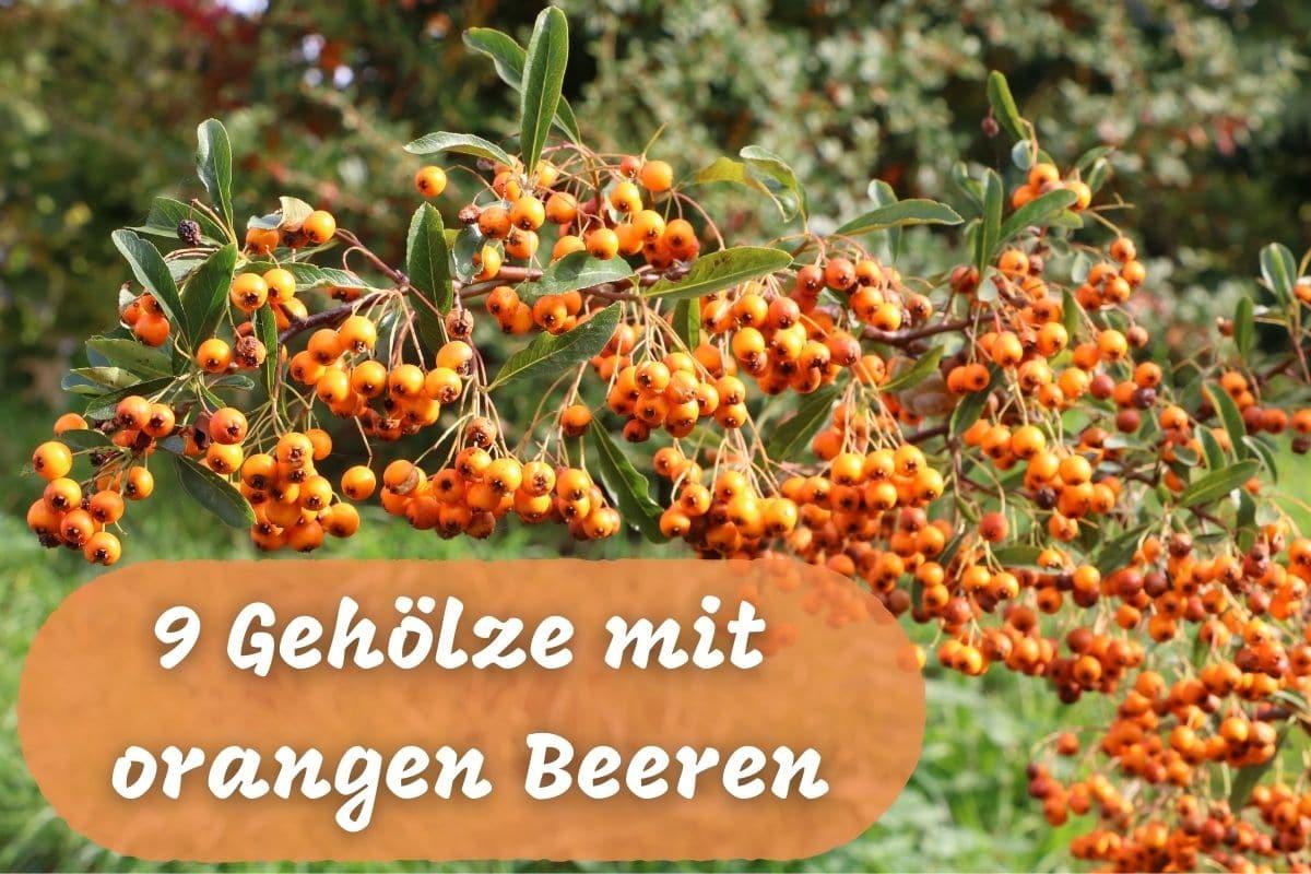 Orange Beeren - Sanddorn
