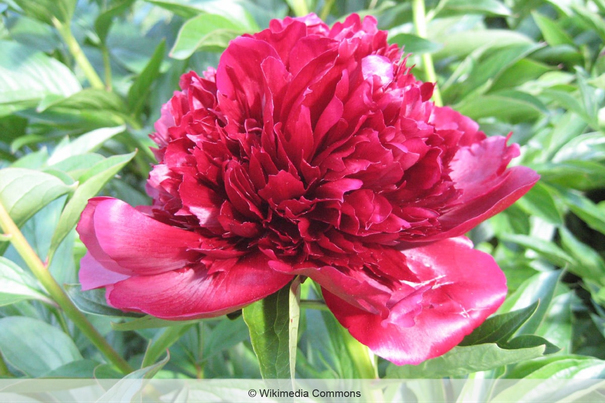 Pfingstrose 'Red Charm'