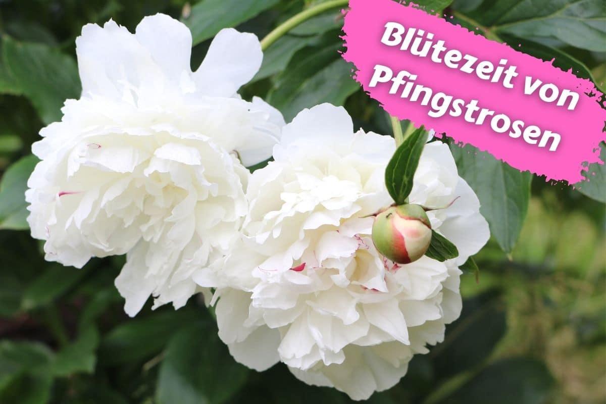 Blütezeit von Pfingstrosen