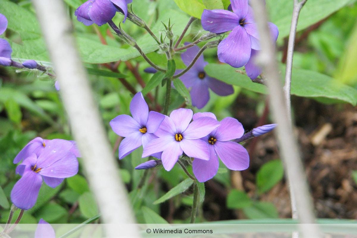 Blaue Frühblüher - Phlox stolonifera 'Blue Ridge'