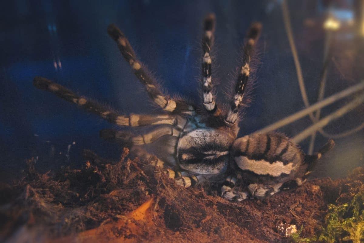 Spinnenarten - Poecilotheria rajaei