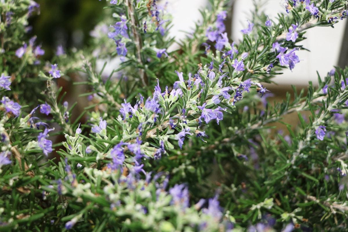 Pflanzen für den Südbalkon - Rosmarin