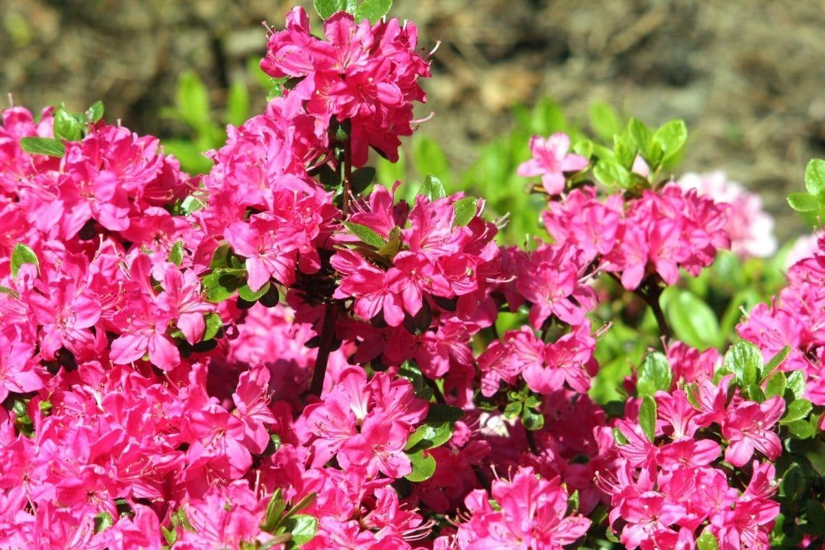 Rostblättrige Alpenrose - Rhododendron ferrugineum