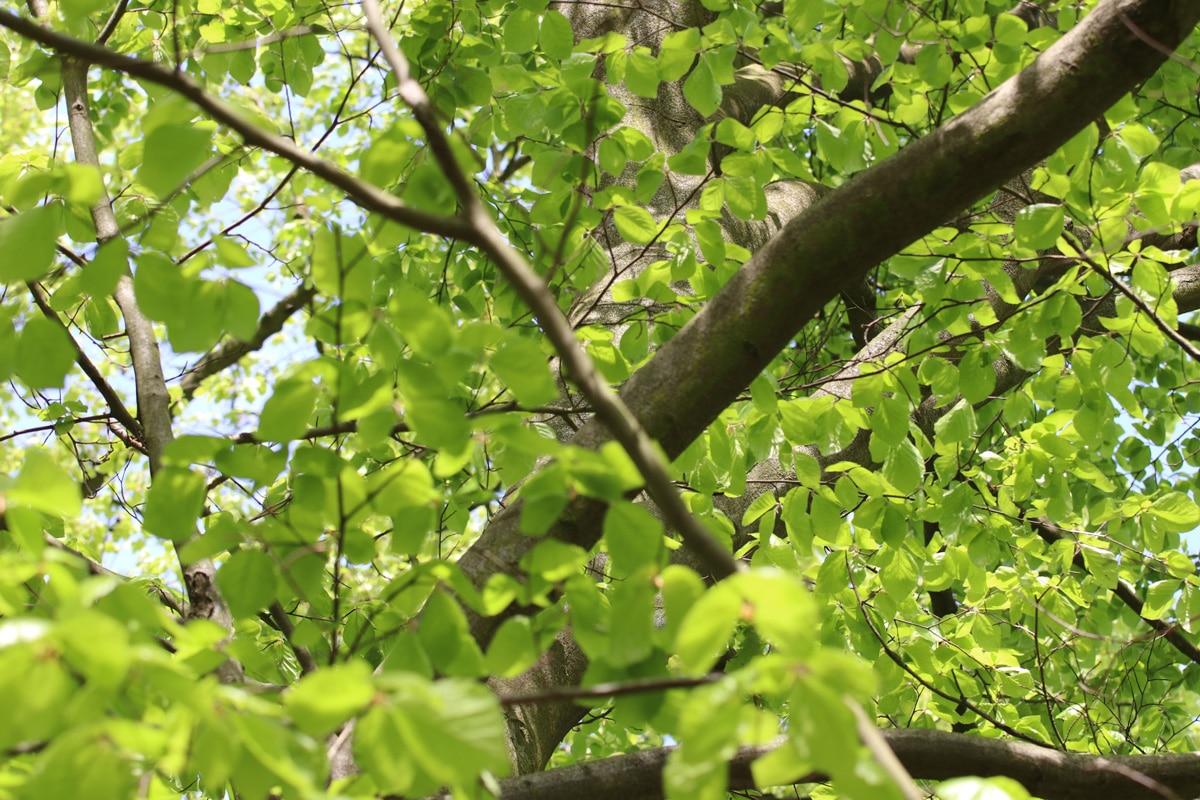 Rotbuche - Fagus sylvatica
