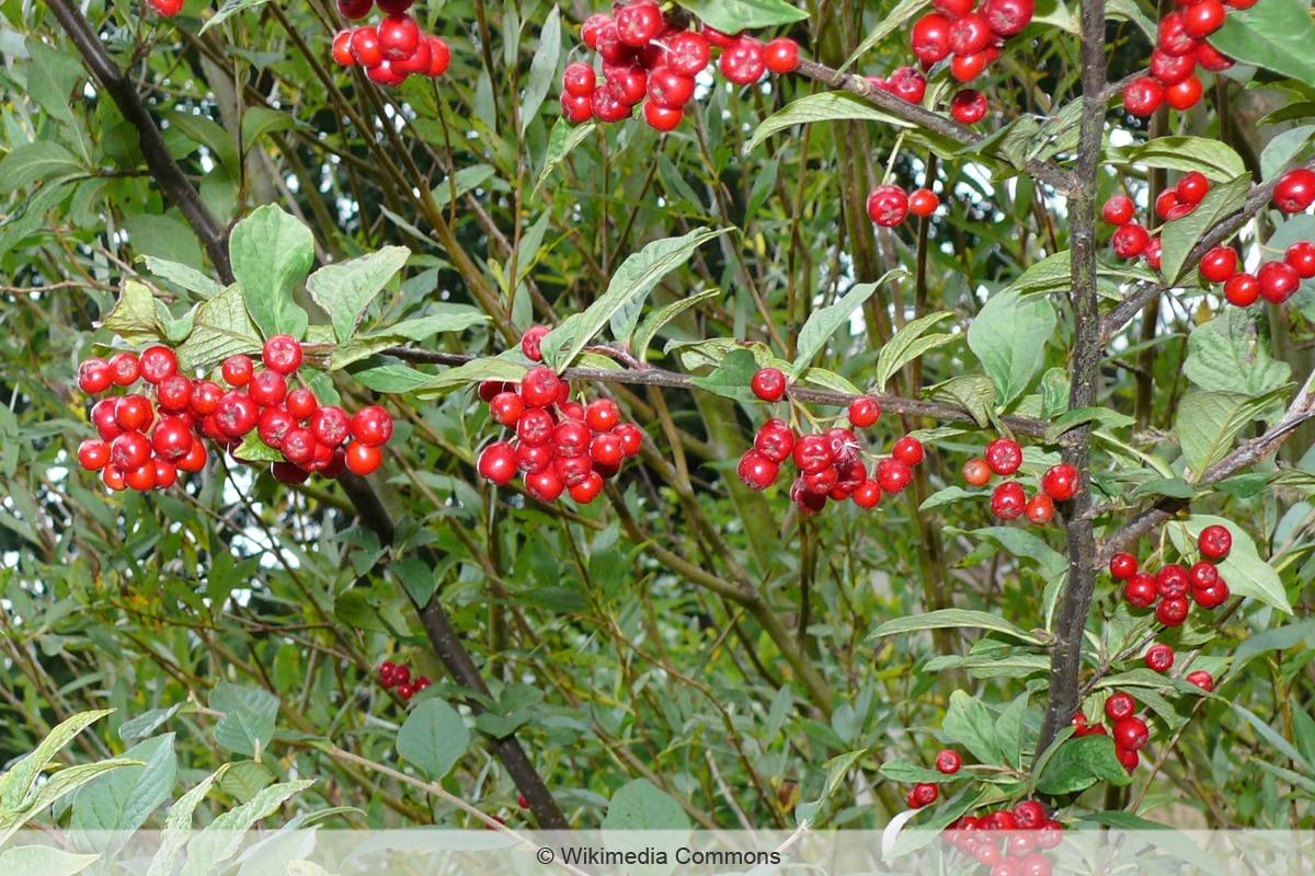 Rote Beeren - Runzelige Zwergmispel
