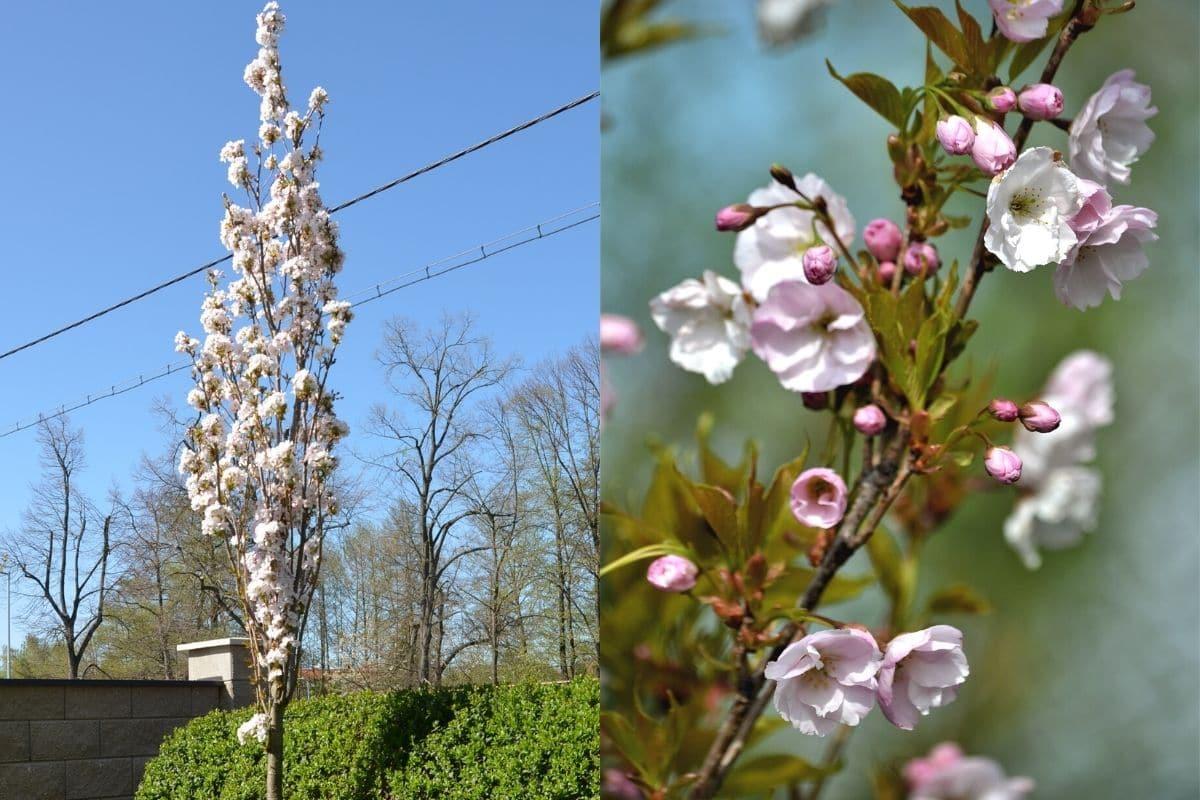 Säulen-Zierkirsche - Prunus serrulata 'Amanogawa'