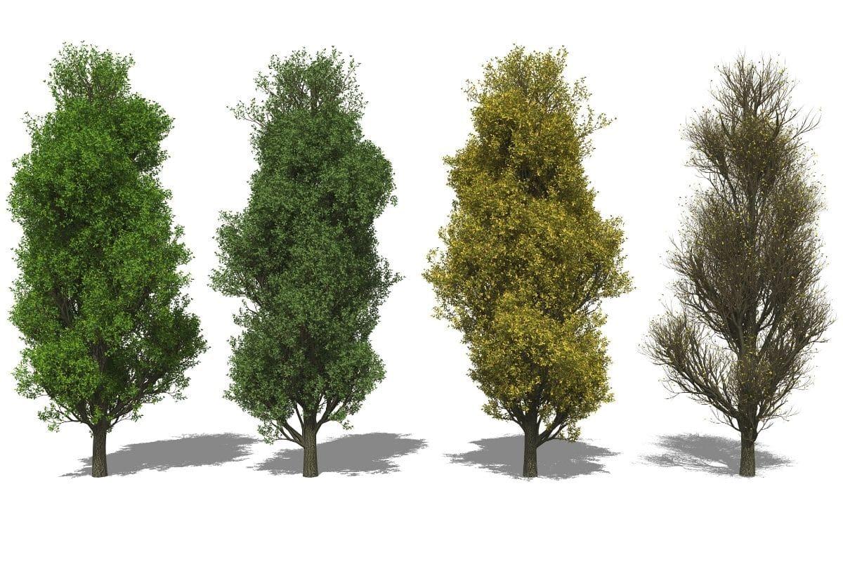 Kleine Bäume - Säuleneiche
