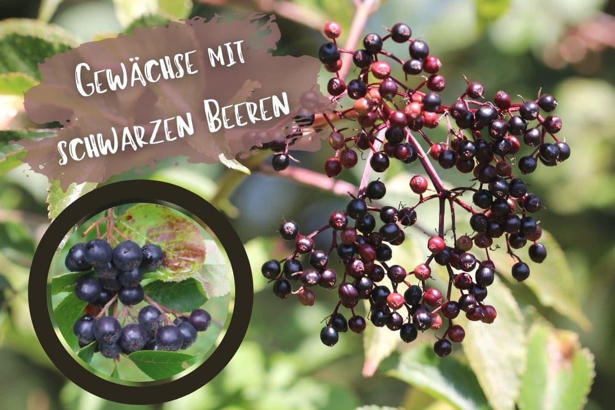 Schwarze Beeren - Holunder und Aronia