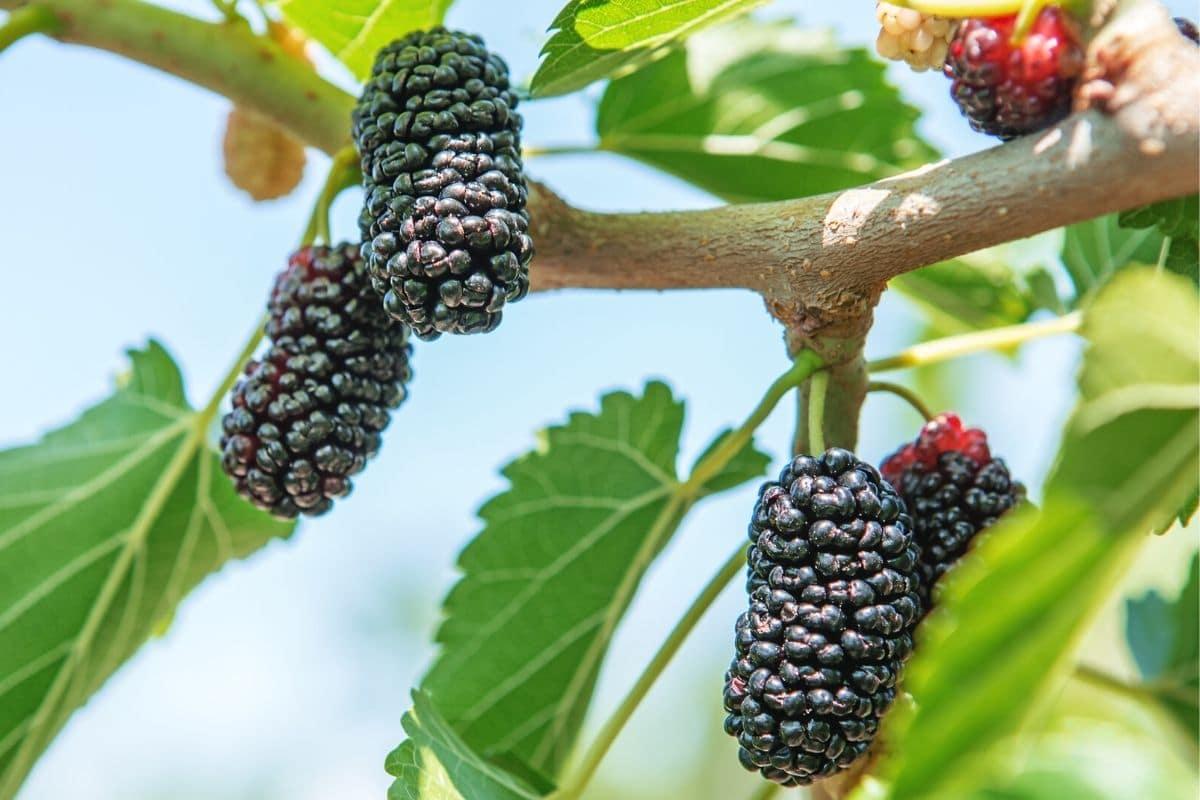 Schwarze Beeren - Schwarze Maulbeere
