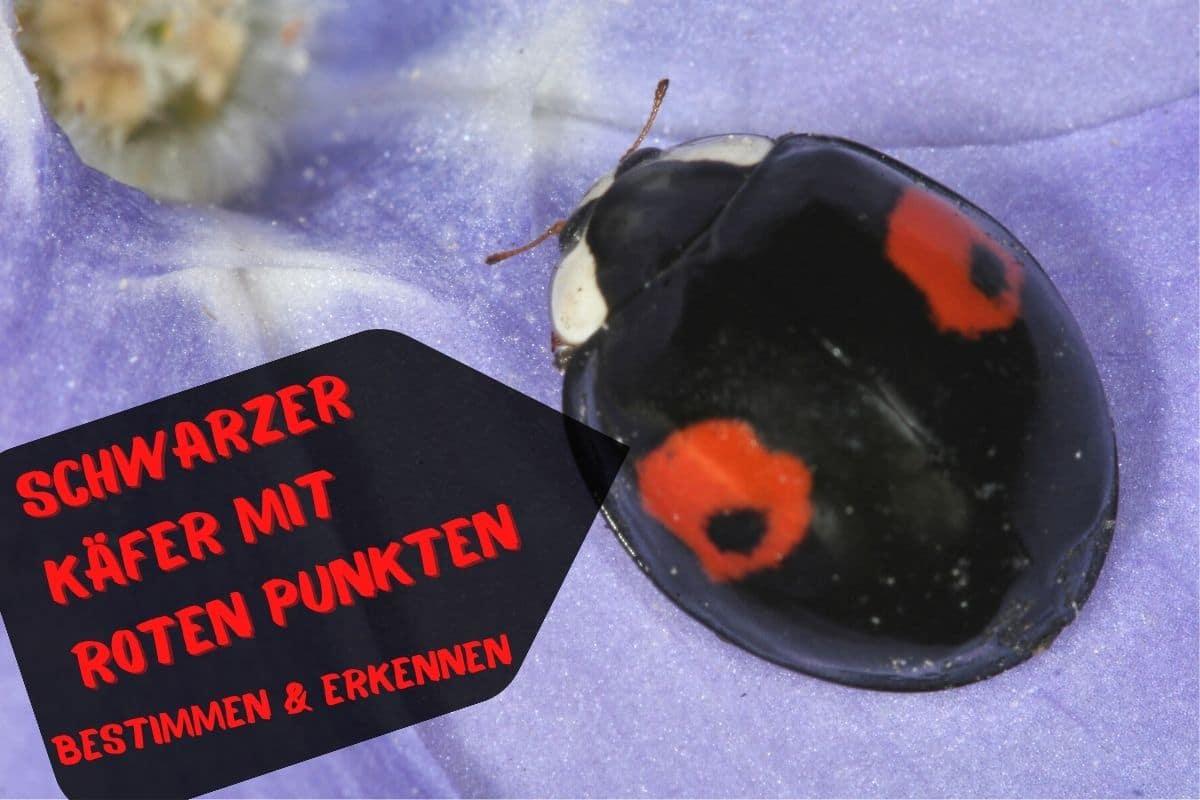 Schwarzer Käfer mit roten Punkten - Asiatischer Marienkäfer