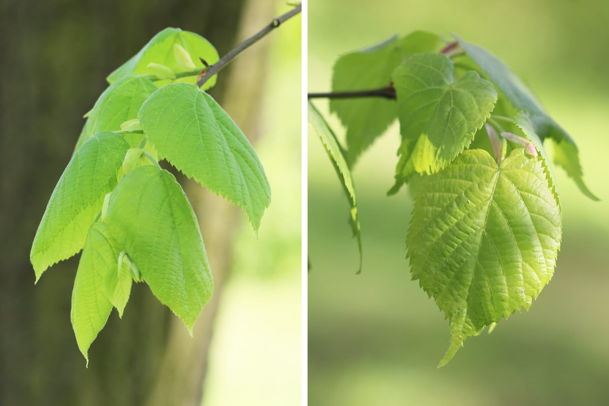Blätter der Sommerlinde und Winterlinde