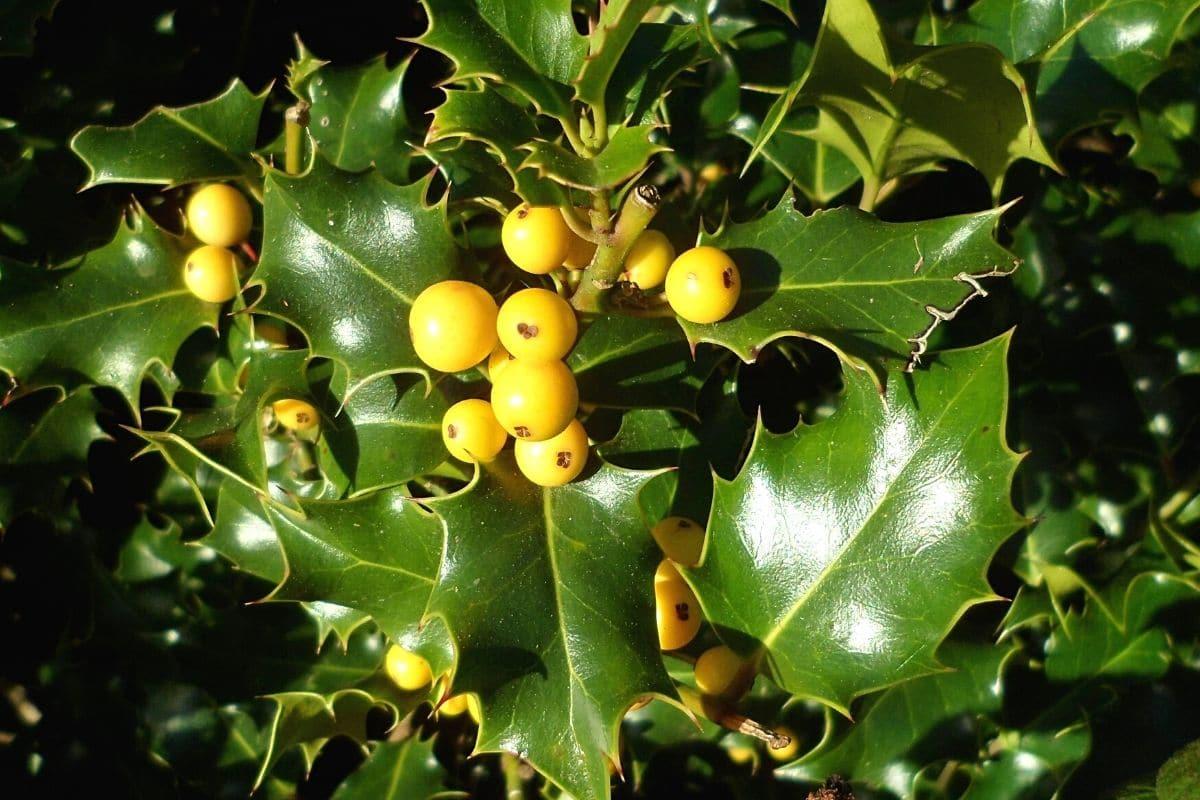 Stechpalme - Ilex aquifolium 'Bacciflava'