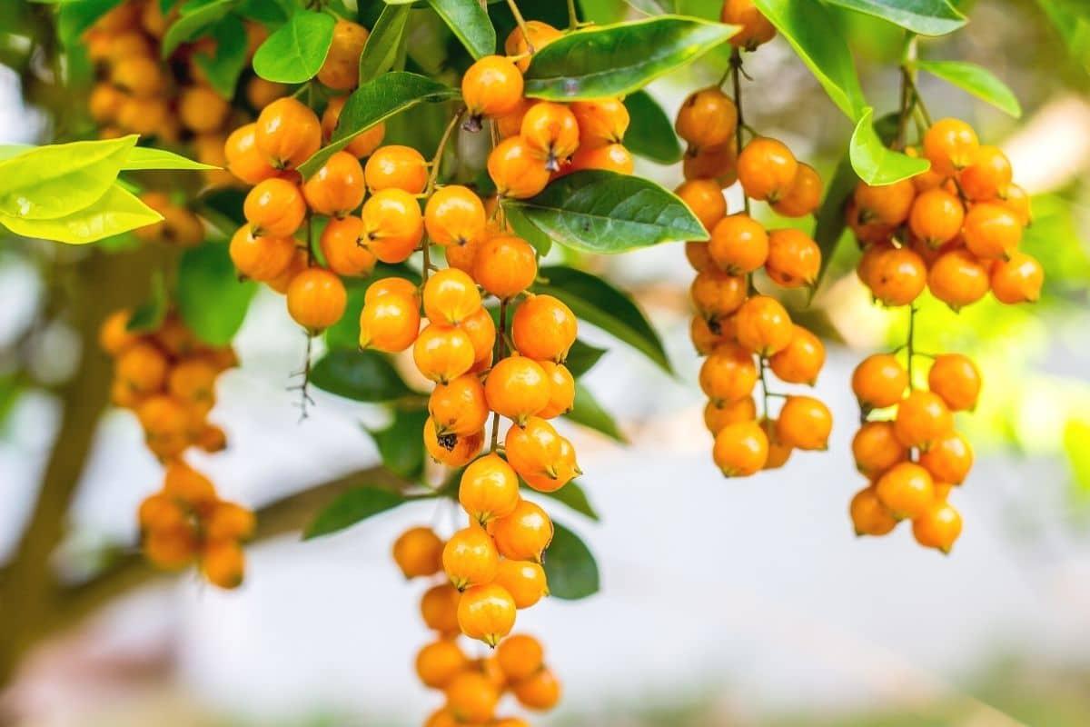 Orange Beeren - Taubenbeere